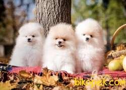 Pomeranian Boo Ayı Surat Safkan Yavrularımız