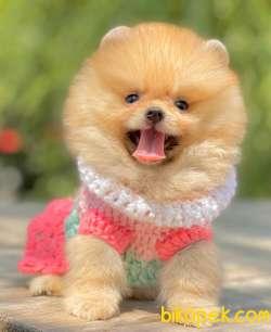 Pomeranian Boo Ayı Surat Teddy Bear Yavrularımız 3