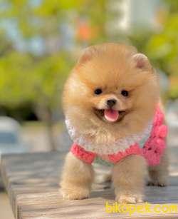 Pomeranian Boo Ayı Surat Teddy Bear Yavrularımız