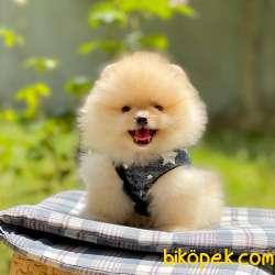 Pomeranian Boo Ayı Surat Yavrularımız