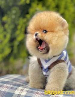 Pomeranian Boo Ayı Surat Yavrularımız Safkan Secereli 2
