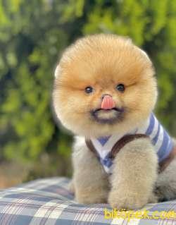 Pomeranian Boo Ayı Surat Yavrularımız Safkan Secereli 5