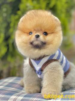 Pomeranian Boo Ayı Surat Yavrularımız Safkan Secereli 4