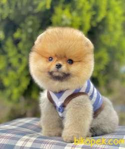 Pomeranian Boo Ayı Surat Yavrularımız Safkan Secereli 3