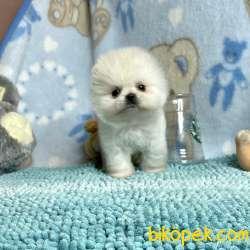 Pomeranian Boo Ayicik Surat Teacup Boo Tipi Yavrumuz