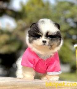Pomeranian Boo Ayicik Surat Tri Color Ve Black Yavrularımız
