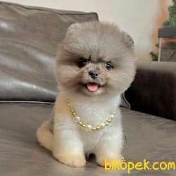 Pomeranian Boo Ayicik Surat Yavrular 5