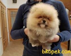 Pomeranian Boo Ayicik Suratlı Yavrularımız Safkan Belgeli 4