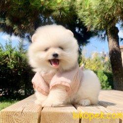 Pomeranian Boo Ayicik Tip Yavrular