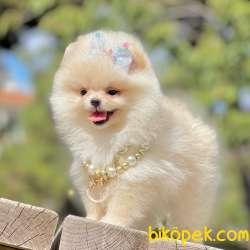 Pomeranian Boo Ayicik Tip Yavrularımız 1