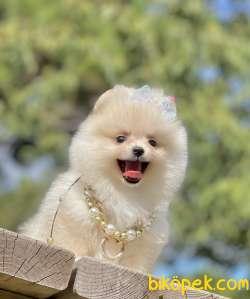 Pomeranian Boo Ayicik Tip Yavrularımız 5