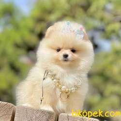 Pomeranian Boo Ayicik Tip Yavrularımız 2