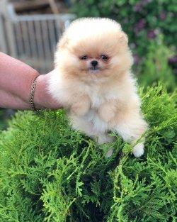 Pomeranian Boo Bebeklerimiz