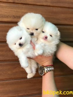 Pomeranian Boo Mini Teddy Face Yavrularımız