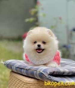 Pomeranian Boo Minyatür Ayicik Peluş Tip Yavrularımız