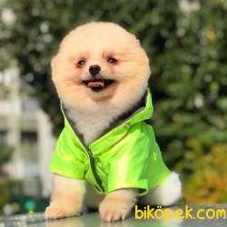 Pomeranian Boo Oğlumuz  Chivas