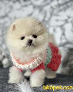 Pomeranian Boo Safkan Ayı Surat Yavrular