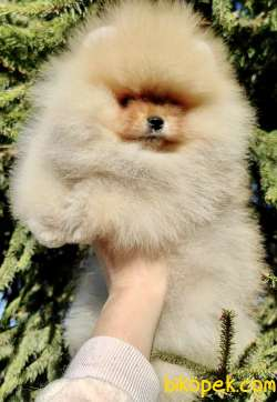 Pomeranian Boo Safkan Ayı Surat Yavrularımız 5