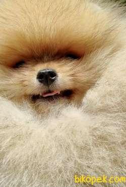 Pomeranian Boo Safkan Ayı Surat Yavrularımız 2