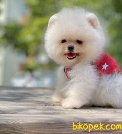 Pomeranian Boo Safkan Ayicik Tip Yavrularımız