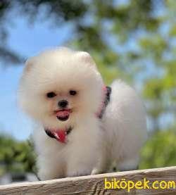 Pomeranian Boo Safkan Ayicik Tip Yavrularımız 3