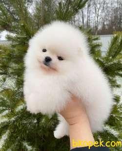 Pomeranian Boo Safkan Belgeli Yavrularımı