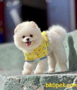 Pomeranian Boo Safkan Teddy Bear 1