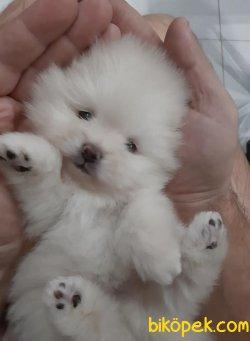 Pomeranian Boo Safkan Yavrularımız Oyuncak Surat