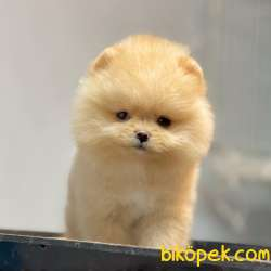 Pomeranian Boo Secereli Yavrularımız
