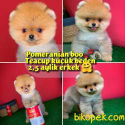 Pomeranian Boo Teacup Oyuncu Yavrumuz Panço / Yavrupatiler Den