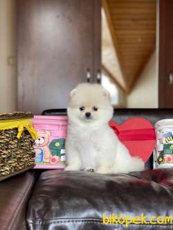Pomeranian Boo Teddy Bear 3