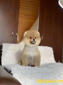Pomeranian Boo Teddy Bear 2