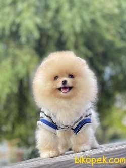 Pomeranian Boo Teddy Bear Ayı Surat Yavrularımız