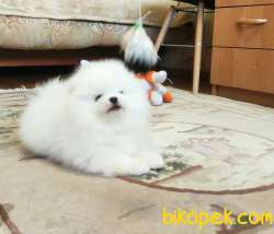 Pomeranian Boo Teddy Bear Yavrular 4