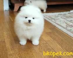 Pomeranian Boo Teddy Bear Yavrular 2