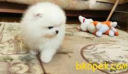 Pomeranian Boo Teddy Bear Yavrular 3