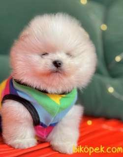 Pomeranian Boo Teddy Bear Yavrularımız Ayicik Suratlı 2