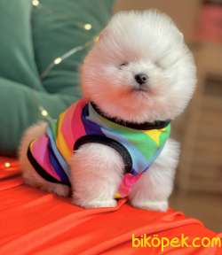 Pomeranian Boo Teddy Bear Yavrularımız Ayicik Suratlı 3