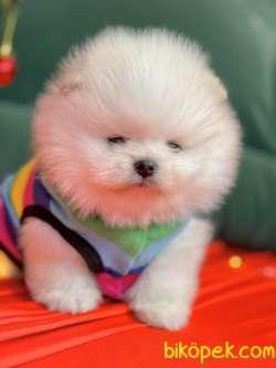 Pomeranian Boo Teddy Bear Yavrularımız Ayicik Suratlı 5