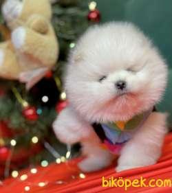 Pomeranian Boo Teddy Bear Yavrularımız Ayicik Suratlı 1