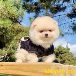 Pomeranian Boo Teddy Bear Yavrular Ayicik Suratlı Ufak Boyutta