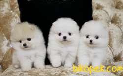 Pomeranian Boo Teddy Bear Yavrularımız