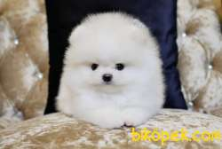 Pomeranian Boo Teddy Bear Yavrularımız 2