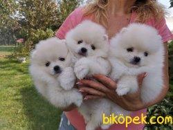 Pomeranian Boo Teddy Surat Ayicik Tip Yavrular