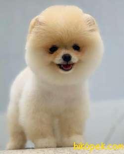Pomeranian Boo Tedy Bear