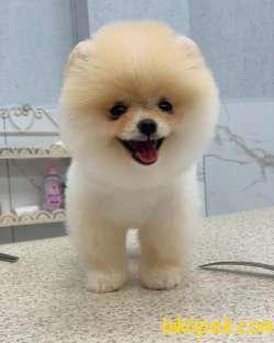 Pomeranian Boo Tedy Bear 4