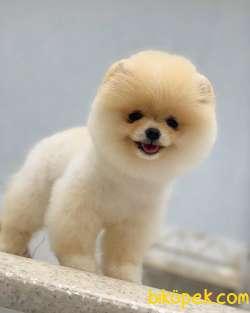 Pomeranian Boo Tedy Bear 3