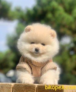 Pomeranian Boo   White Dişi Erkek