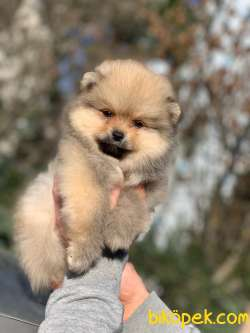 Pomeranian Boo Yavrular  New
