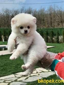 En Mutlu Teddy-bear Tea Cup Pomeranian Boo Yavruları
